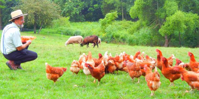 Grass Fed Hens